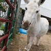 Lola the Donkey at Brooksby Farm in Peabody. Photo by Mary Schwalm