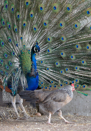 A peacock displays his feathers for a chicken at Brooksby Farm in Peabody. Photo by Mary Schwalm