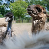 An Emu and Larry the Llama, look over the mane from Lola the Donkey as she boxes them out from the fence at Brooksby Farm in Peabody. Photo by Mary Schwalm