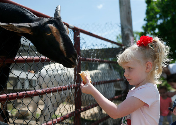Landrey McKelvey, 4, of Woburn, feeds a treat filled cone to a goat at Brooksby Farm in Peabody. Photo by Mary Schwalm