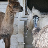 Larry the Llama, an emu and Lola the Donkey mind their space at Brooksby Farm in Peabody. Photo by Mary Schwalm