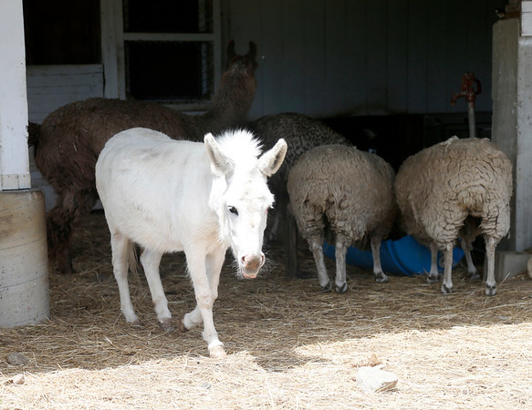 Lola the Donkey walks out from shade after taking the first drink of water ahead of Larry the Llama and some sheep at Brooksby Farm in Peabody. Photo by Mary Schwalm