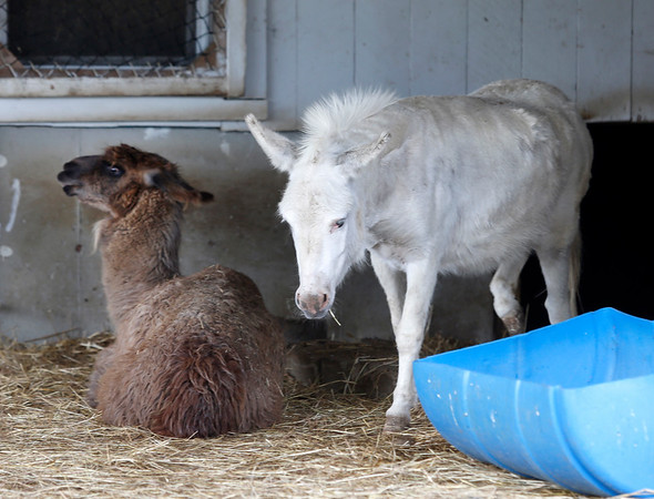 Larry the Llama takes a seat in the shade as Lola the Donkey heads out into the paddock at Brooksby Farm in Peabody. Photo by Mary Schwalm
