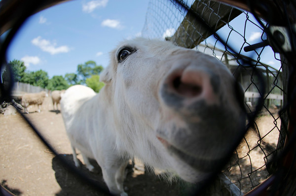Lola the Donkey looks for attention at Brooksby Farm in Peabody. Photo by Mary Schwalm