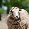 A sheep at Brooksby Farm in Peabody. Photo by Mary Schwalm