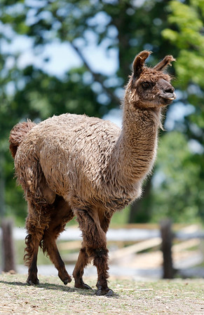 Larry the Llama walks in the paddock at Brooksby Farm in Peabody. Photo by Mary Schwalm