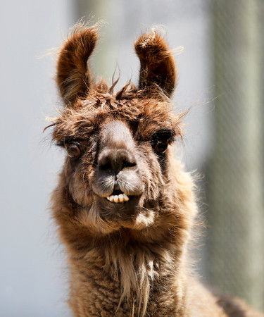 Larry the Llama looks out from the paddock at Brooksby Farm in Peabody. Photo by Mary Schwalm