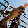 A goat reaches through the fence for a treat as food bits spill from the cone at Brooksby Farm in Peabody. Photo by Mary Schwalm