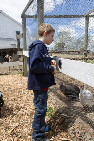 Joe Difazio/ Ryan Simensen, seven, of Charlestown feeding chickens at the Family Festival at Brooksby Farm in Peabody. May 15, 2016