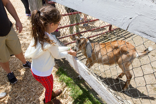 Joe Difazio/ Marina Inoue, six, of Peabody feeding goats at the Family Festival at Brooksby Farm in Peabody. May 15, 2016