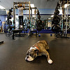 Mangus, nicknamed Maggie, a bulldog, likes to sleep in, so she arrives to the gym late, and takes another nap.<br /> MARY SCHWALM/Staff photo.  12/19/12