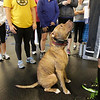 Clients who walk into the Institute of Performance & Fitness are greeted by a friendly, enthusiastic pit bull named Abraham.<br /> Abraham is the mascot at Walter Norton Jr.'s Andover gym.<br /> MARY SCHWALM/Staff photo.  12/19/12