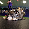 Maggie, a bulldog, doesn't let a little running and activity interrupt her nap at owner Walter Norton Jr.'s Andover gym, Institute of Performance & Fitness.<br /> MARY SCHWALM/Staff photo.  12/19/12