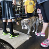 Mangus, an American bulldog - pit bull mix, is a regular at the IPF gym in Andover.<br /> MARY SCHWALM/Staff photo.  12/19/12