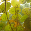 MARY SCHWALM/Staff photo.  Lily pads as seen from underwater on Collins pond in Harold Parker State Park. 6/5/10