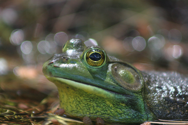 MARY SCHWALM/Staff photo.  A frog on Collins pond in Harold Parker State Park. 6/5/10
