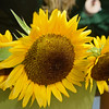RYAN HUTTON/ Staff photo<br /> Blooming sunflowers from Gaouette Farm at the Andover Farmer's Market.