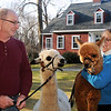 Tom and Jen Boshar of Andover, owners of Big Red Acres Registered Huacaya Alpacas, have a family photo taken with two of several Alpacas they own. Tom holds Tabitha, the mother of Apollo being held by Jen. A baby Alpaca is called a Cria.<br /> CARL RUSSO/Staff photo.