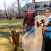 Tom and Jen Boshar of Andover, owners of Big Red Acres Registered Huacaya Alpacas, get ready to have a family photo taken with two of several Alpacas they own. Jen holds Tabitha, the mother of Apollo being held by Tom. A baby Alpaca is called a Cria. <br /> CARL RUSSO/Staff photo.