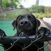 MARY SCHWALM/Staff photo A rescued lab named Satchel waits for Scott Bechaz at his home in North Reading. 6/25/14