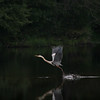 MIKE SPRINGER/Staff photo<br /> A blue heron takes off from the placid surface of the Ipswich River at Ispswich River Park in North Reading on Wednesday, July 9, 2014.