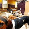 MARY SCHWALM/Staff photo Boarding dogs enjoy some inside time at the Bed and Biscuit doggie daycare in Reading 9/19/13