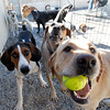 MARY SCHWALM/Staff photo Boarding dogs enjoy some outside time at the Bed and Biscuit doggie daycare in Reading 9/19/13