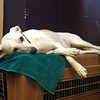 MARY SCHWALM/Staff photo Bella naps on top of a crate inside the Bed and Biscuit doggie daycare in Reading 9/19/13