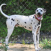 AMANDA SABGA/ Staff photo <br /> <br /> 11-month old Dalmatian, Mighty, lives in Reading but explores the local Andover Dog Park. Mighty go this name from his breeder despite his family having other names picked out. When he arrived from Ohio and heard about his brother Meaty they decided the name suited him. <br /> <br /> 7/13/16