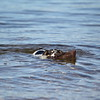 MARY SCHWALM/Staff photo A dog named Bruiser fetches a floating shoe from Cobbetts Pond. 10/12/14