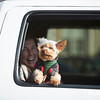 Enzo picks out a pick up window during the Beverly Holiday Parade, Sunday, November 26, 2017. Jared Charney / Photo