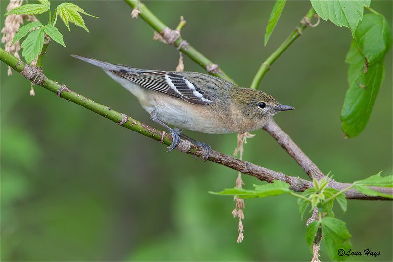 Bay-breasted Warbler (female)
