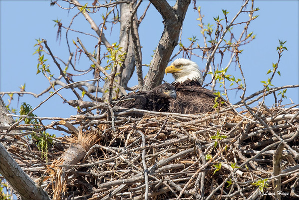 Bald Eagle and chick
