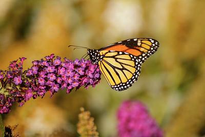 October Monarch