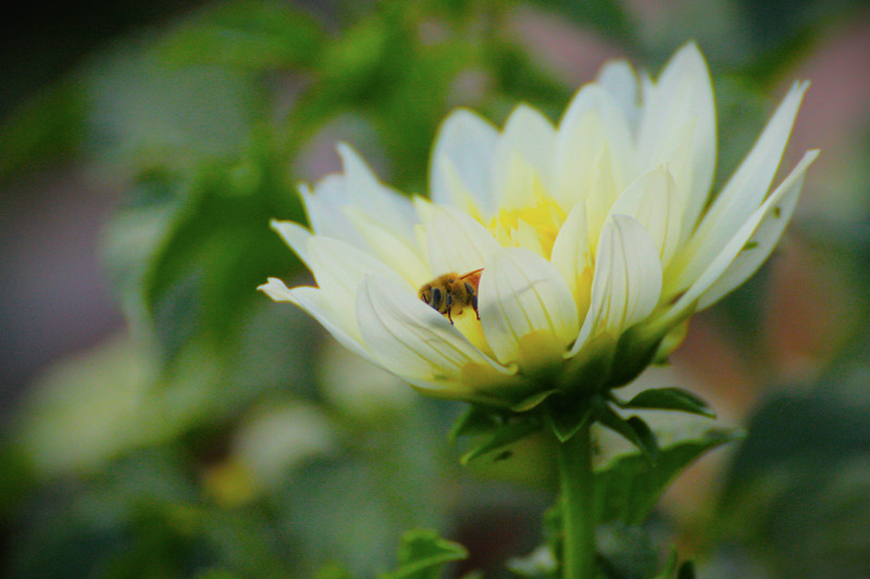 Last Honey Bee of Fall ?