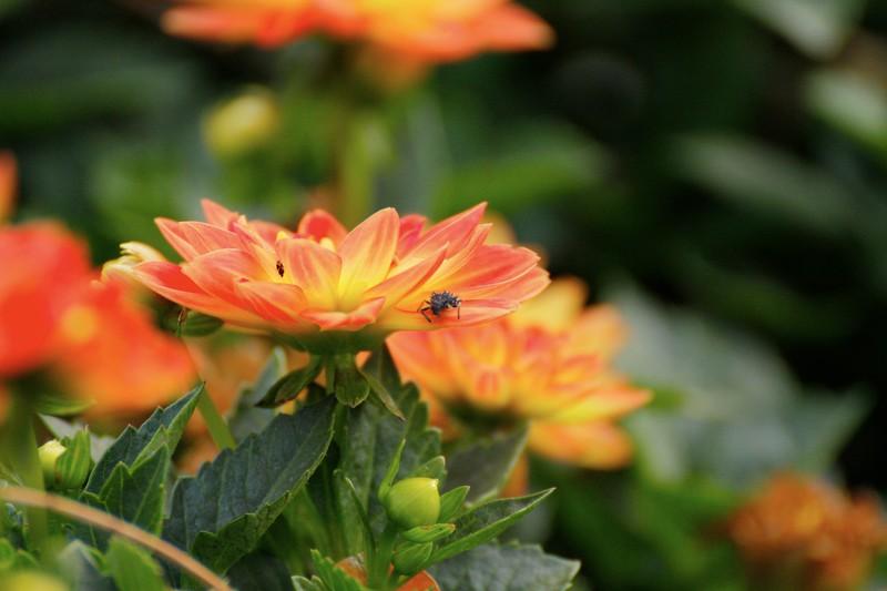 Dahlia with Bug 1