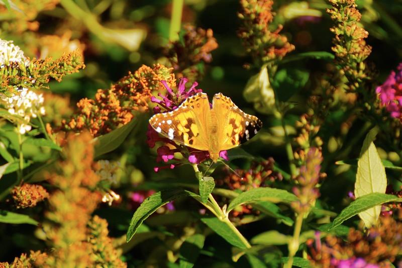 Butterfly in Sun