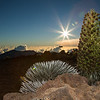 silversword bloom