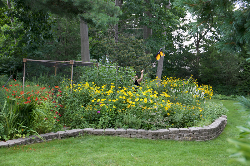 A Monarch butterfly emerges from the garden  on a warm day in July . . .