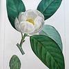 Small magnolia or White bay (Magnolia glauca)