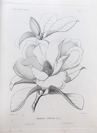 Magnolia, or, Bull bay (Magnolia foetida)