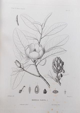 Sweet bay (Magnolia glauca)