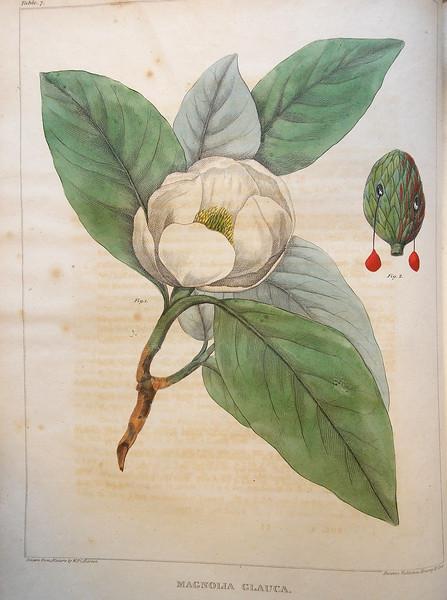Small magnolia (Magnolia glauca)