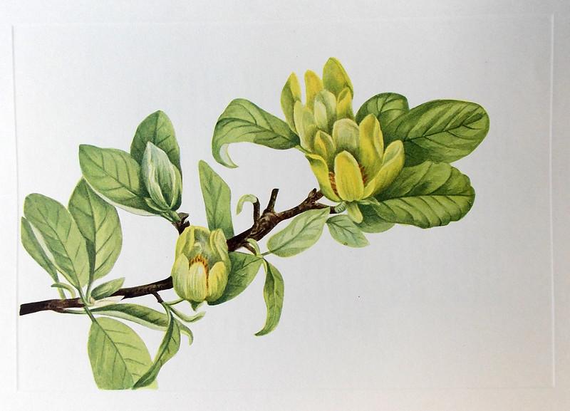 Yellow cucumbertree (Magnolia cordata)