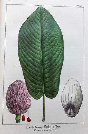 Large leaved umbrella tree (Magnolia macrophylla)