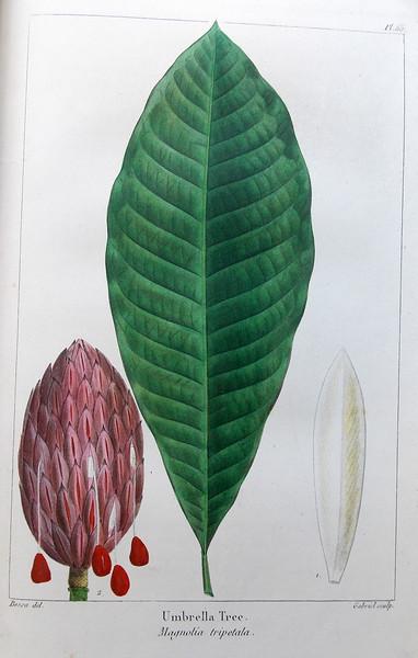 Umbrella tree (Magnolia tripetala)