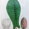 Long leaved cucumber tree (Magnolia auriculata)