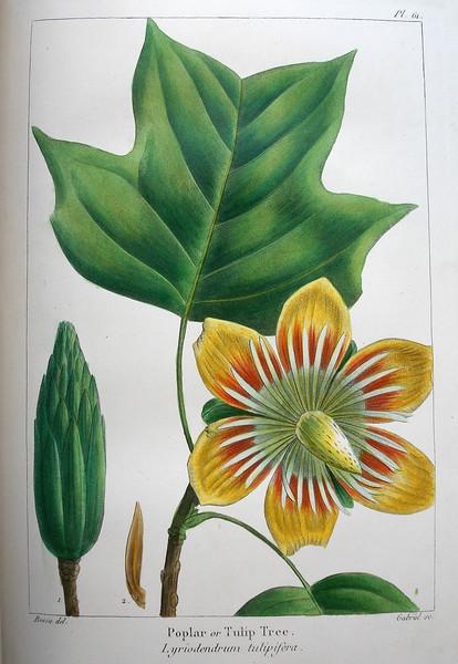 Poplar, or, Tulip tree (Liriodendron tulipifera)