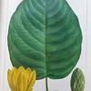 Heart leaved cucumber tree (Magnolia cordata)