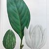 Large magnolia, or, Big laurel (Magnolia grandiflora)